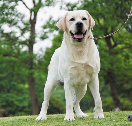 dòng chó Labrador Retriever